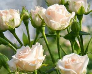 rose-yana-b