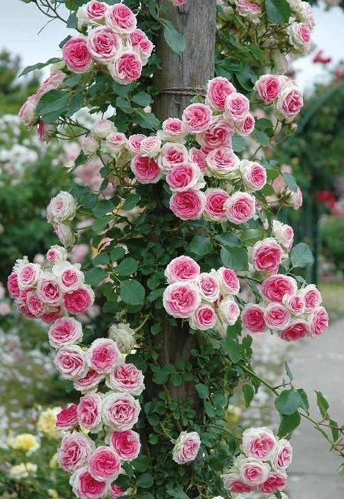 Роза Эден Роуз (Eden Rose) плетистая - Насіння країни
