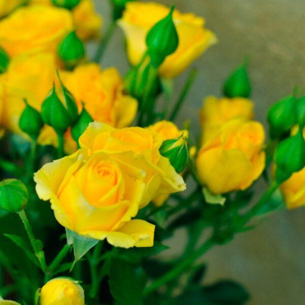 kustovaya-roza-yellow-baby
