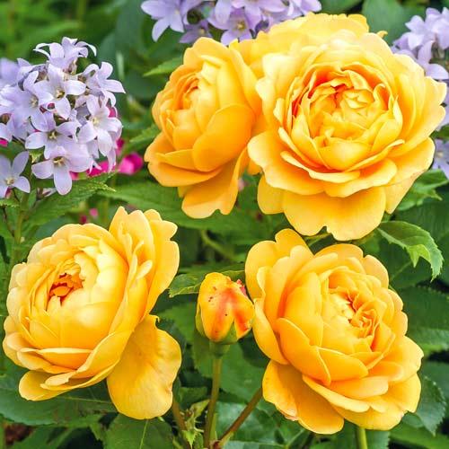 roza-angliyskaya-golden-selebreyshn_1