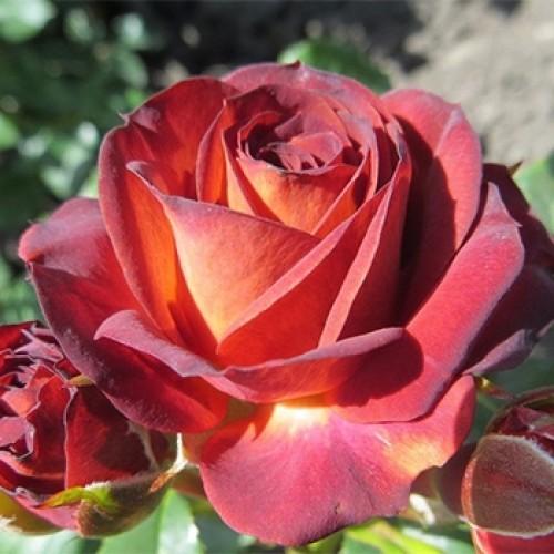 roza-braun-shuger-brown-sugar-500x500-1