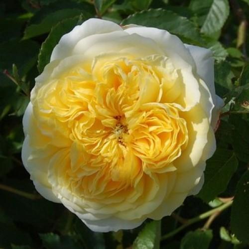 roza-piligrim-pilgrim-500x500-1