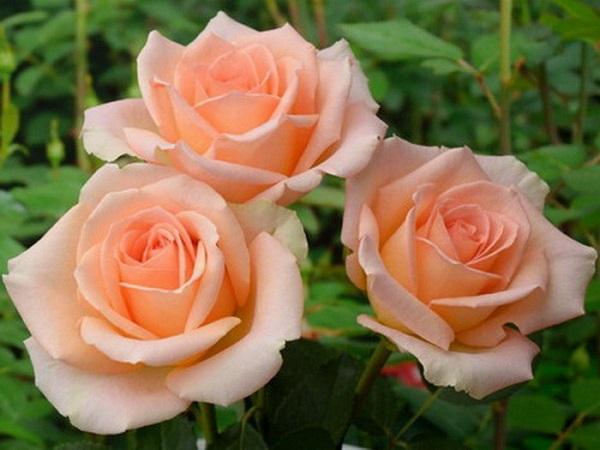sort-roz-versilija