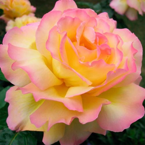 roza-glorija